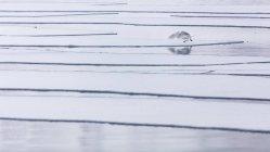 Larus hyperboreus nascondendo la testa con le sue ali che riflettono In acqua — Foto stock