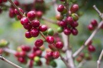 Primo piano dei chicchi di caffè maturi crescente nei settori caffè del vulcano San Pedro — Foto stock