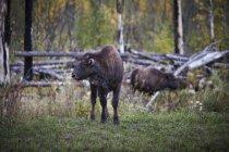 Herd Of Bison On Grassyland In Yukon, Canada — Stock Photo