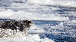 Big Bearded Seal Lying On A Piece Of Pack Ice With Snow Covering Its Body — Stock Photo