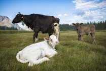 Little cows in the beautiful landscape of Devero Valley, Piemonte, Italy — Stock Photo