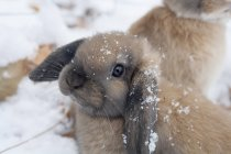 Holland Lop dans la neige — Photo de stock