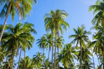 Palm trees plantation at Nacpan Beach, El Nido, Palawan, Philippines — Photo de stock