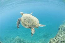 Green sea turtle swimming near Makena Bay in Maui, Hawaii — Stock Photo