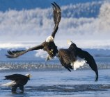 Bald Eagles fight and fighting over frozen river — Stock Photo