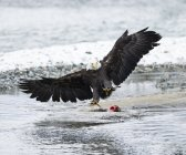 Bald eagle with spread wings over killed salmon — Stock Photo