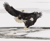 Bald Eagles fighting over Salmon in flight — Stock Photo