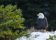 Aigle à tête blanche avec du saumon frais pêché à côté du sapin — Photo de stock