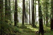 Luce solare attraverso gli alberi nella foresta pluviale Sol Duc — Foto stock