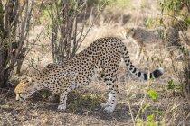 Гепард і її дитинча на тлі — стокове фото
