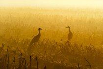 Duas silhuetas de grous na luz do amanhecer dourado — Fotografia de Stock