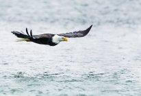 Облыселый орел в полете над речной воды — стоковое фото