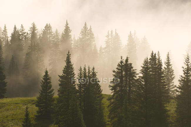 Fog and spruce trees on Molas Pass as viewed from the Alpine Loop Drive through the San Juan National Forest, Silverton, Colorado — Stock Photo
