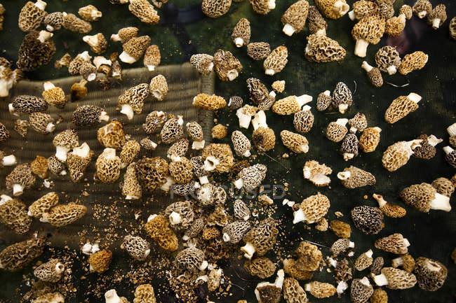 Plano de detalle de setas recién cogidas morel secado en Bozeman, Montana - foto de stock