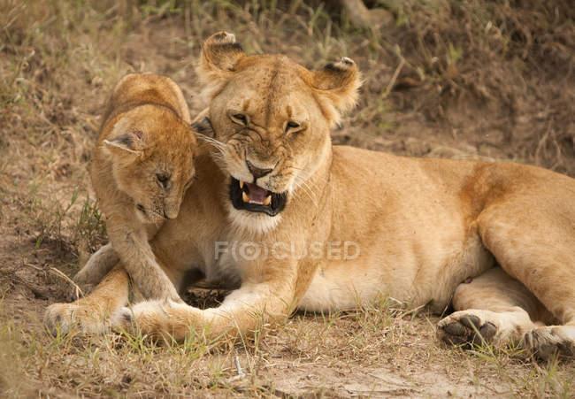 Löwenmutter, Panthera leo, spielt mit Jungtieren im Masai Mara Nationalreservat im Südwesten Kenias — Stockfoto