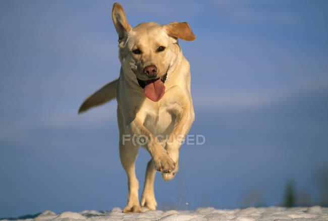 Vorderansicht des gelben Labrador Retrievers, der mit flatternden Ohren durch den Schnee läuft, neulich, maine. — Stockfoto