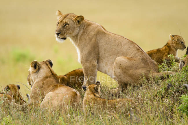 Orgoglio dei leoni, Panthera leo, riserva nazionale di Masai Mara in Kenya sud-ovest — Foto stock