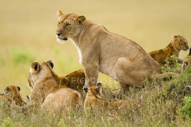 Grupo de leões, Panthera leo, reserva nacional de Masai Mara no Kenya sudoeste — Fotografia de Stock