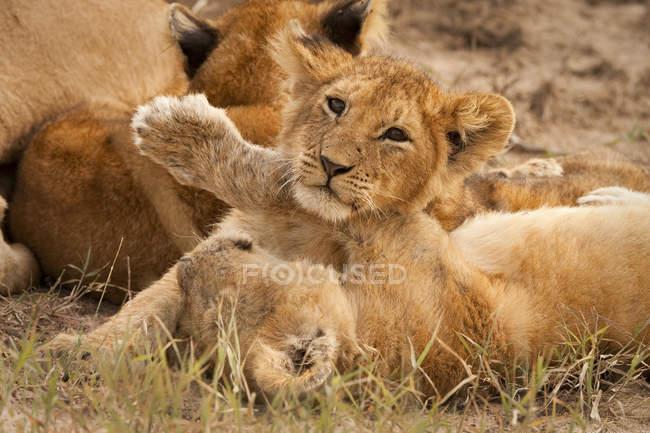 Крупним планом подання дитинчат лев, Лев, в Масаї Мара Національний заповідник в південно-західній Кенії — стокове фото