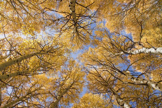 Vista inferior do amarelas árvores no outono nas montanhas de Sierra da Califórnia — Fotografia de Stock