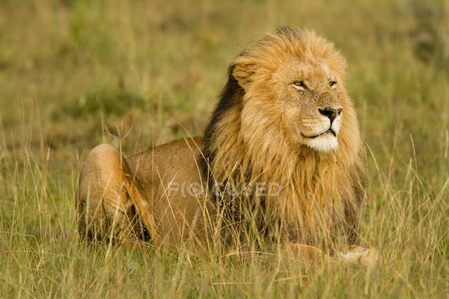 Close up view of wild male Lion, Panthera leo in natural habitat — Stock Photo