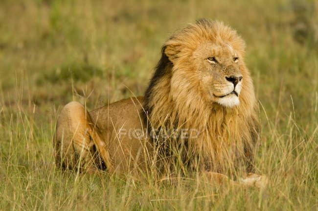 Cerrar vista de León macho salvaje, Panthera leo en hábitat natural - foto de stock