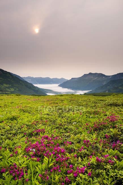 Розовые цветы и зеленые травы с долиной и туман в фоновом режиме. Камчатка, Россия — стоковое фото
