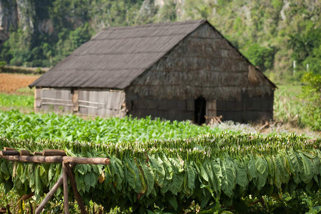Thatched-roof barn in Viales valley in Cuba surrounded by tobacco — Stock Photo