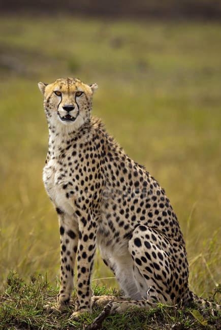 Cheetah selvagem no Quênia reserva nacional de Masai Mara — Fotografia de Stock