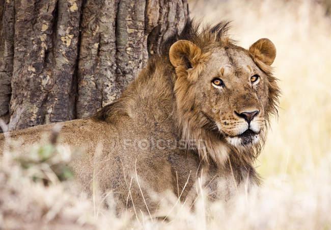 Молодой мужчина Лев в тени в Кении Масаи Мара Национальный заповедник — стоковое фото