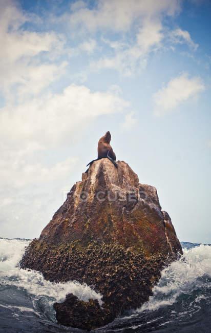 Одинокий морской лев на вершине скалы, раздел край в Кабос Сан Лукас, Мексика — стоковое фото