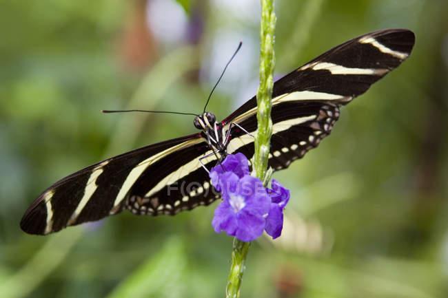 Zebra Longwing Schmetterling (Heliconius Charitonius) auf Blume, Schmetterlingshaus Niagara, Niagara Falls, Ontario, Kanada — Stockfoto