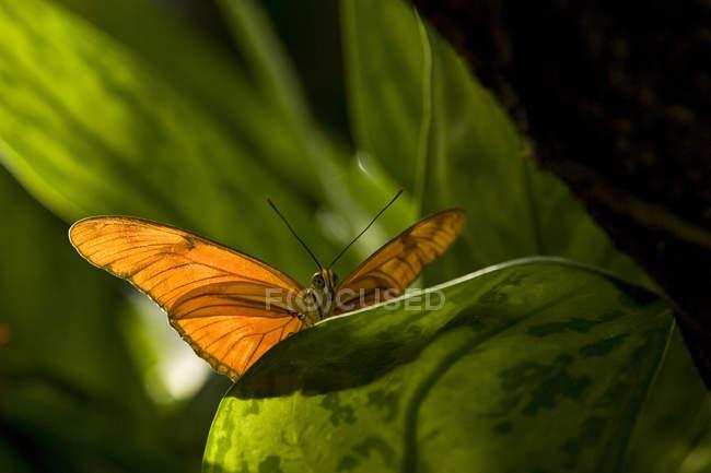 Julia Heliconian Schmetterling (Dryas Iulia) am Niagara Schmetterling Konservatorium in Niagara Falls, Ontario, Kanada — Stockfoto