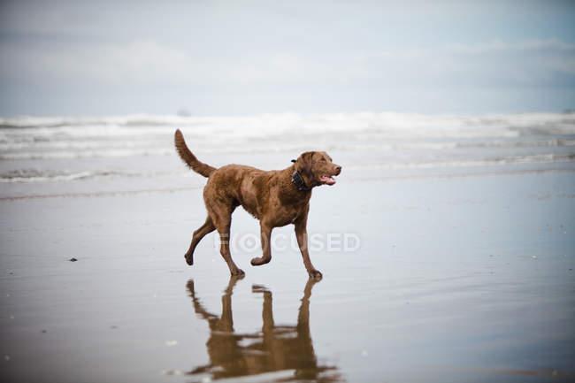 Dog walks across a sandy beach on the Oregon Caost, USA — Stock Photo