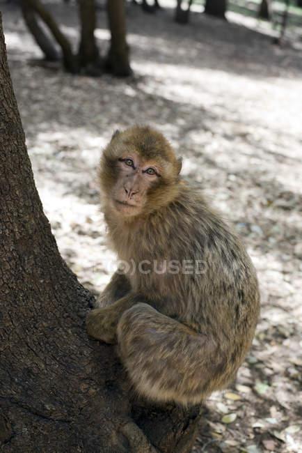 Mono de Barbary macaque, una especie en peligro de extinción en un árbol en el Parque Nacional de Ifrane en las montañas del Atlas medio cerca de Ifrane, Marruecos - foto de stock