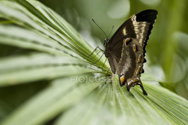 Nahaufnahme der Schmetterling auf Blatt am Niagara Schmetterlingshaus in Niagara Falls, Ontario, Kanada — Stockfoto