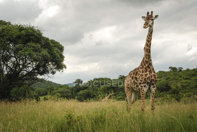 Жираф в Хлухлуве-Imfolozi Game Reserve, Квазулу-Натал провинции Южной Африки — стоковое фото