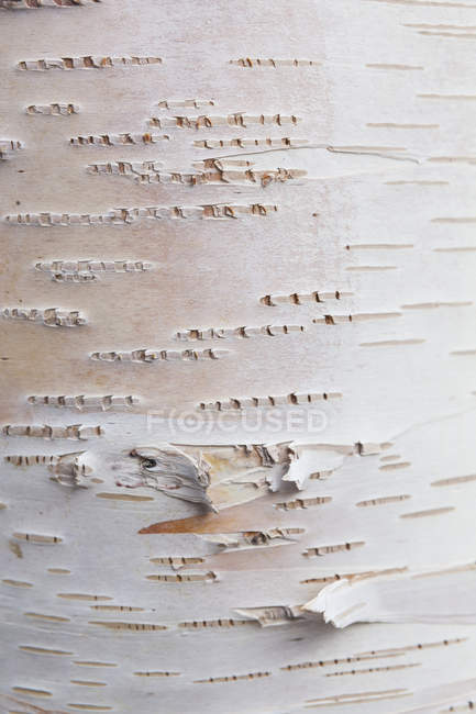 Деталь зовнішньої частини кори берези паперу, крупним планом — стокове фото
