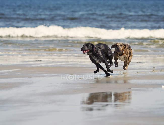 Zwei Hunde jagen einander an einem Strand in Südlichem Maine — Stockfoto