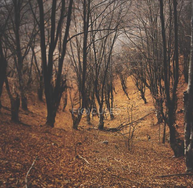 Vista panoramica di ripido pendii di vecchi alberi di faggio, Cemerno, montagna del sud-ovest Serbia — Foto stock