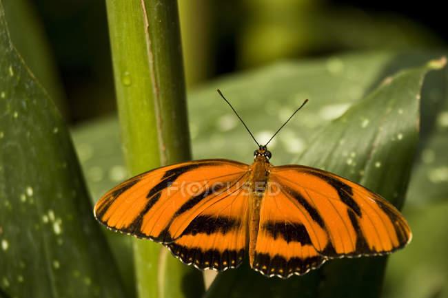 Gebänderten Orange Heliconian Schmetterling (Dryadula Phaetusa) am Niagara Schmetterling Konservatorium in Niagara Falls, Ontario, Kanada — Stockfoto