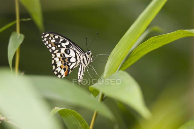 Lime Butterfly, karierten Schwalbenschwanz (Papilio Demoleus Malayanus), Butterfly World und Gärten, Coombs, Vancouver Island, Bc, Kanada — Stockfoto