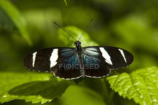 Sara Longwing Schmetterling (Heliconius Sara) auf Blatt am Niagara Schmetterlingshaus in Nigara Falls, Ontario, Kanada — Stockfoto