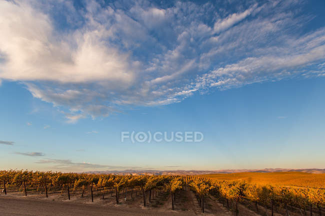 Sunset shot of endless vineyards in paso robles — Stock Photo
