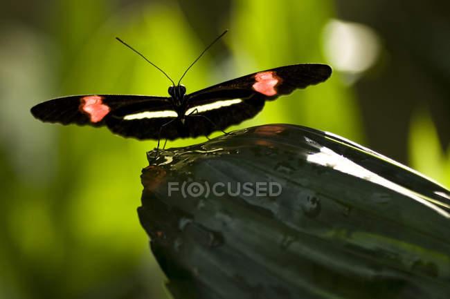 Kleiner Postbote Schmetterling (Heliconius Erato) am Nigara Butterfly Conservatory in Niagara Falls, Ontario, Kanada — Stockfoto