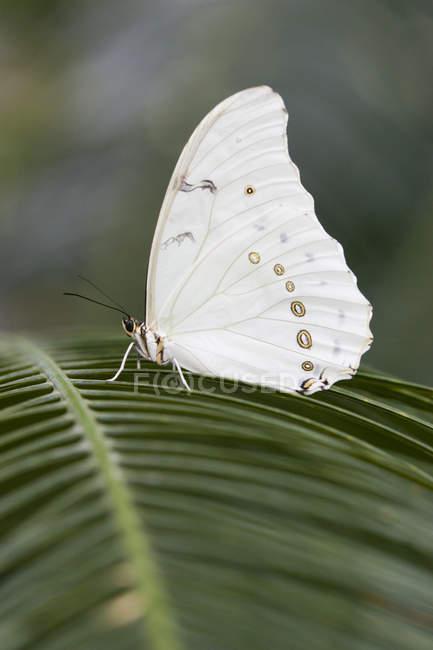 Weiße Morpho Schmetterling (Morpho Polyphemus), Schmetterlingshaus Niagara, Niagara Falls, Ontario, Kanada — Stockfoto
