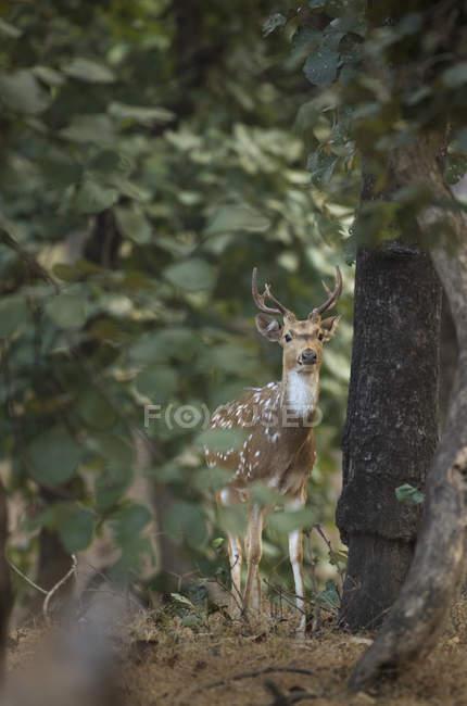 Pares de (eixo) cervo manchados através de árvores no Parque Nacional da Índia Bandhavgarh — Fotografia de Stock