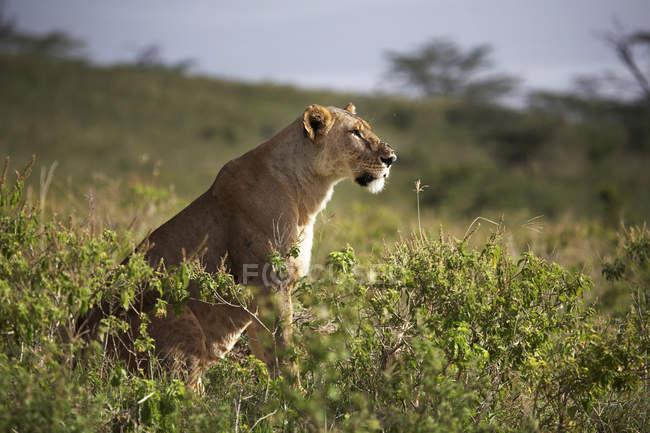 Выборочный фокус львица с мухами на носу в естественной среде обитания, озера Найваша — стоковое фото