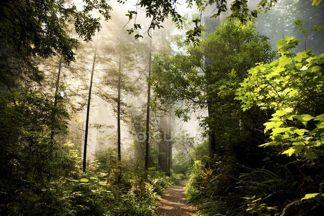 Weg durch einen üppigen grünen Wald bei Sonnenaufgang — Stockfoto