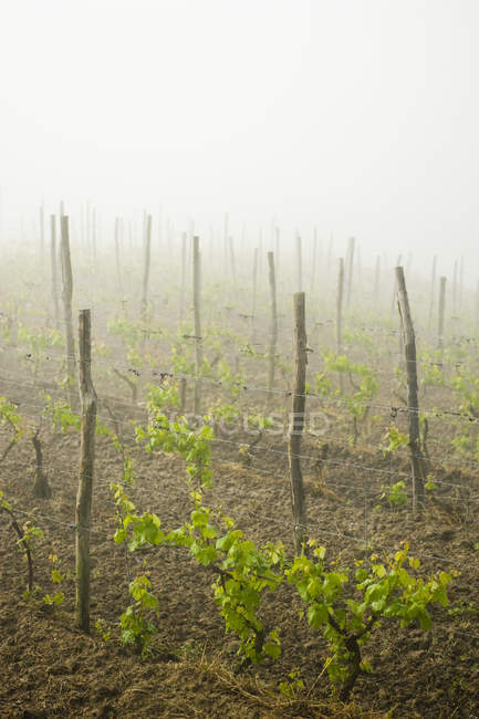 Wine grapes growing in a misty vineyard, Asti, Italy — Stock Photo